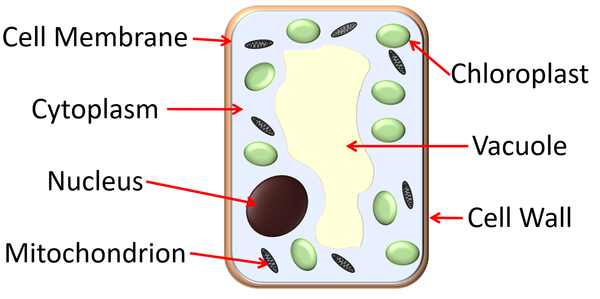 Labelled Diagram Of Plant Palisade Cell Manual Guide
