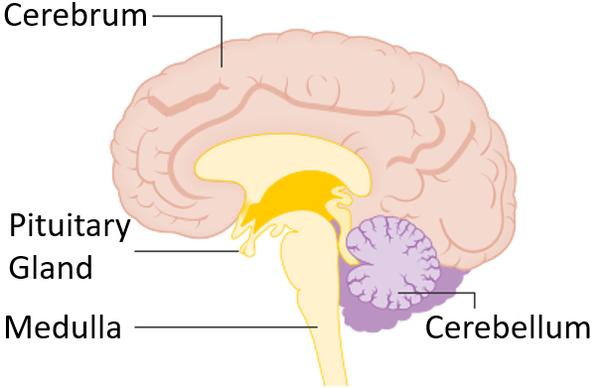 Pituitary Gland - Key Stage Wiki
